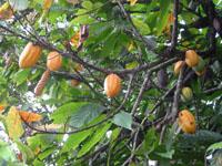 Arbol del Cacao