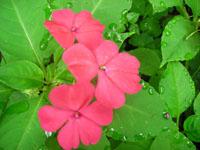 flores de terciopelo