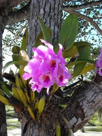 orquidea en el rio caura